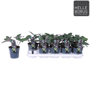 Helleborus lividus 'Purple Marble' (Hoogeveen Plants)