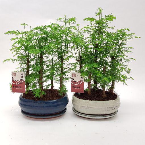Metasequoia glyptostroboides (M&M Garden)