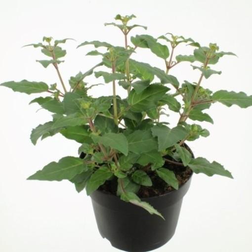 Fuchsia 'Beacon' (Noordpoel, Kwekerij de)