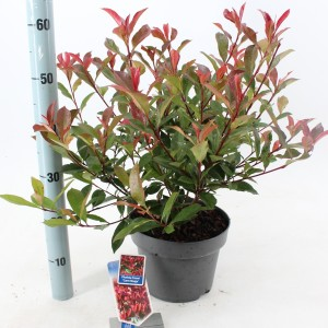 Photinia x fraseri 'Carré Rouge'