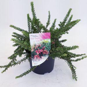 Grevillea lanigera 'Red Salento' (Dool Botanic)
