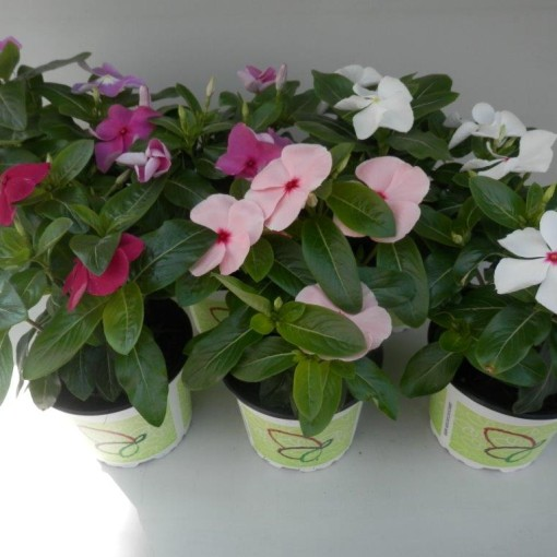 Catharanthus roseus TITAN MIX (Experts in Green)
