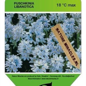 Puschkinia libanotica (Gebr. Straathof)