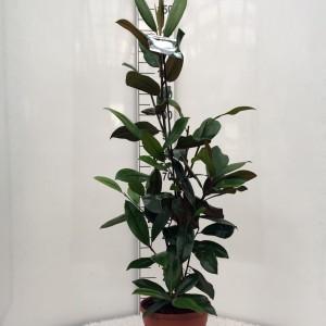 Magnolia grandiflora 'Galissonnière' (Floribras Garden Plants)