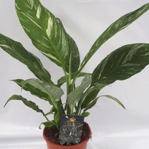 Spathiphyllum DIAMOND