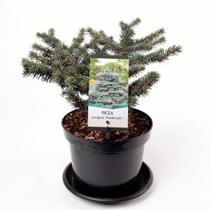 Picea abies 'Waldbrunn'