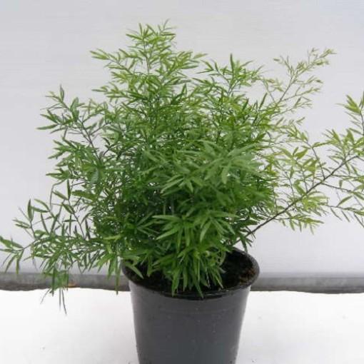 Asparagus densiflorus 'Cwebe' (Gasa DK)