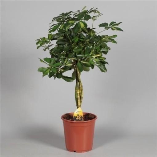 Schefflera arboricola 'Gold Capella' (JoGrow B.V.)