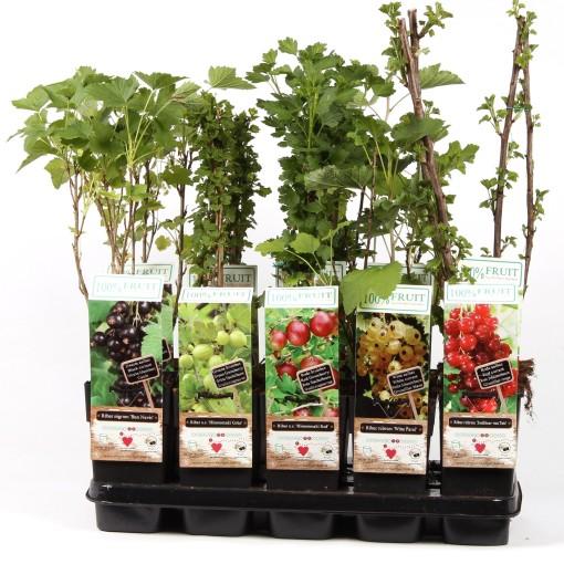 Ribes MIX (Hoogeveen Plants)
