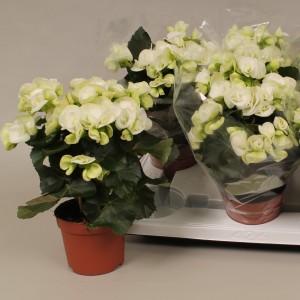 Begonia 'Clara'