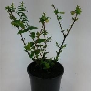 Hypericum androsaemum (WTM de Boer)