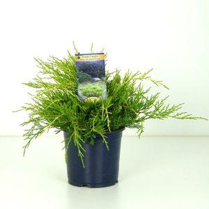 Juniperus x pfitzeriana 'King of Spring'