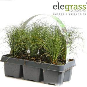 Carex comans 'Frosted Curls' (Hoogeveen Plants)