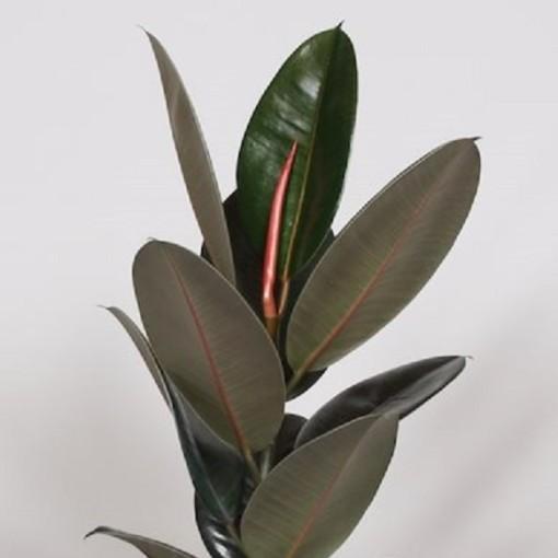 Ficus elastica 'Abidjan' (BK Plant)