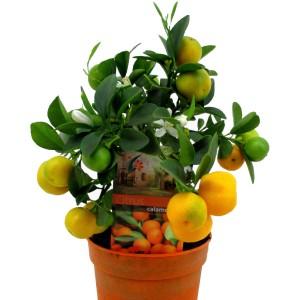 Citrus x microcarpa