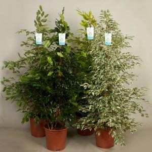 Ficus benjamina MIX (Kwekerij de Schenkel)