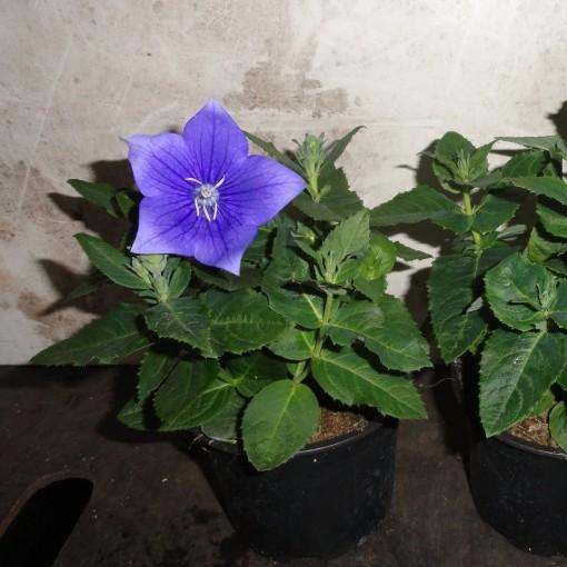 Platycodon grandiflorus 'Astra Blue' (B & L Plants VOF)
