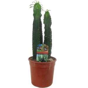 Euphorbia eritrea (Luiten kwekerij)
