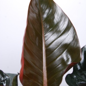 Philodendron 'Red Congo' (Van der Arend Tropical Plantcenter)