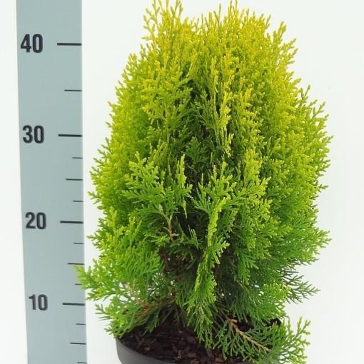 Platycladus orientalis 'Aurea Nana' (About Plants Zundert BV)