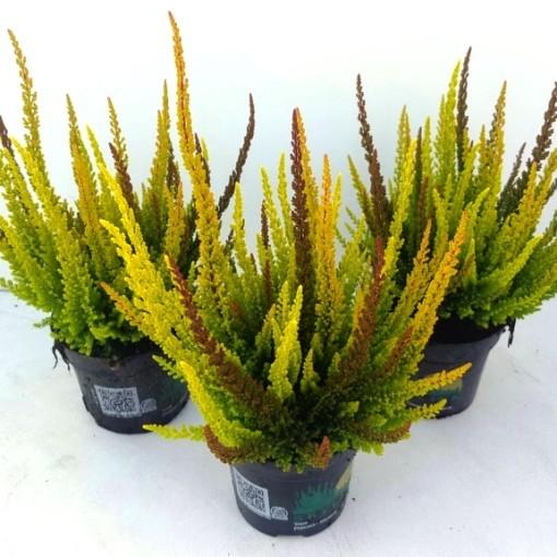 Calluna vulgaris SKYLINE MIX IN POT (Experts in Green)