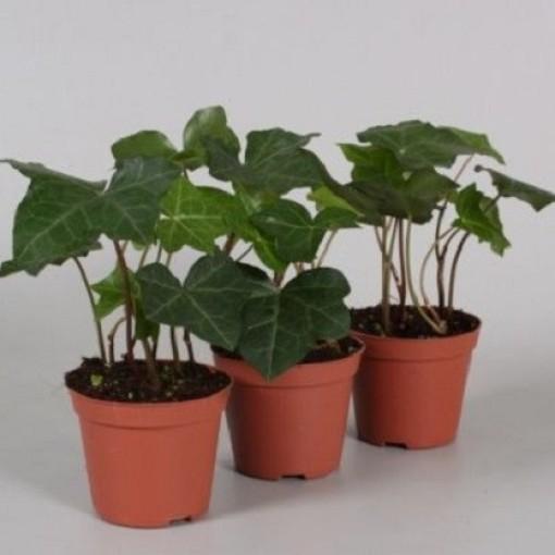 Hedera hibernica (Vireõ Plant Sales)