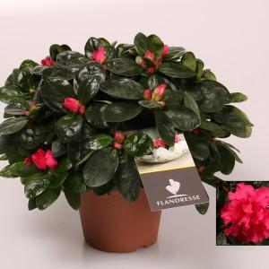 Rhododendron 'Nordlicht Vogel'