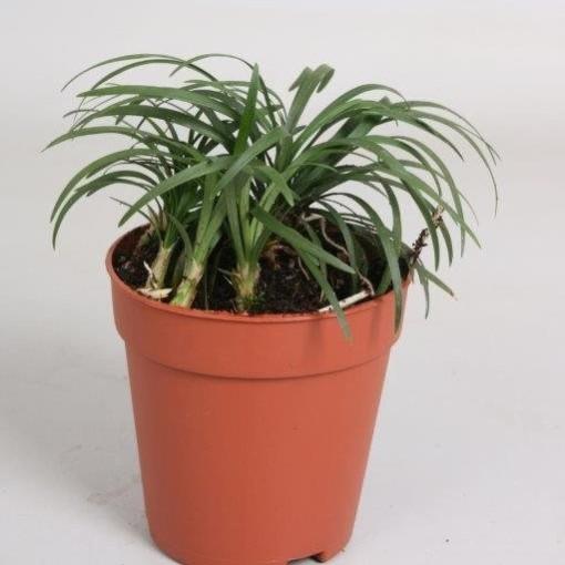 Ophiopogon japonicus 'Minor' (Hkw. van der Velden)