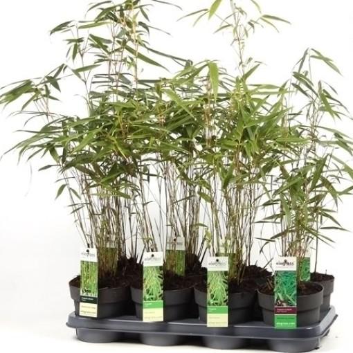 Fargesia MIX (Hoogeveen Plants)