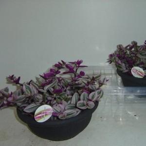 Tradescantia albiflora 'Nanouk'