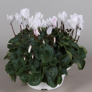 Cyclamen persicum SUPER SERIE S ALLURE WHITE