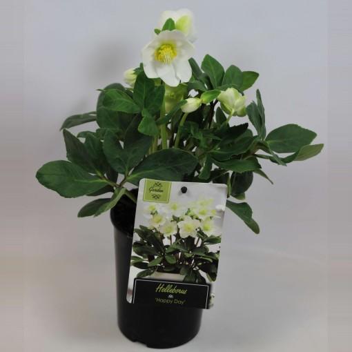 Helleborus niger 'Happy Day' (Rijnbeek Boomkwekerijen B.V.)