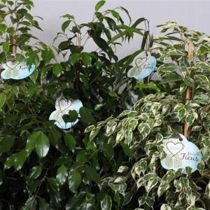 Ficus benjamina MIX (Peeters Potplanten)