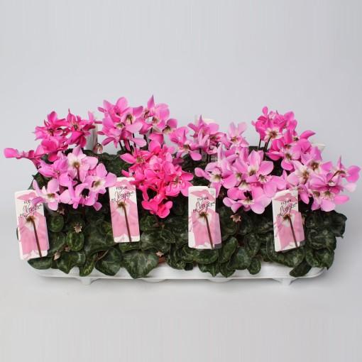 Cyclamen persicum FLEUR EN VOGUE MIX (Endhoven Flowering Plants)