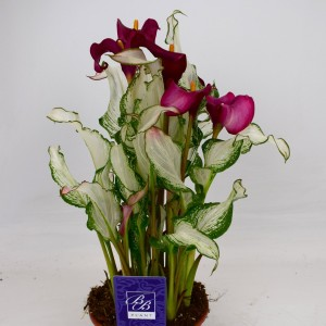 Zantedeschia 'Frozen Queen'