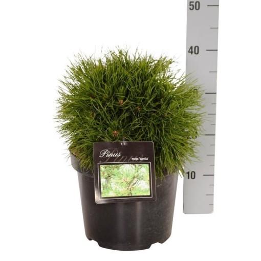 Pinus mugo 'Varella' (Boomkamp Boomkwekerijen B.V.)