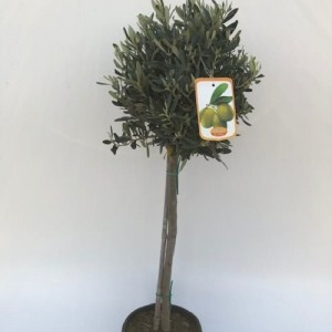 Olea europaea (Green Collect Sales)