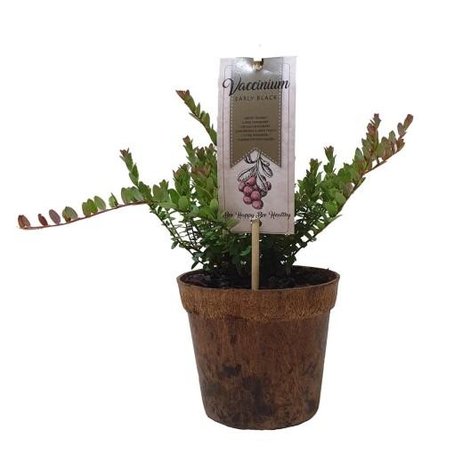 Vaccinium macrocarpon 'Early Black' (BOGREEN Outdoor Plants)