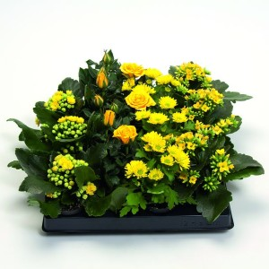 Houseplants MIX YELLOW