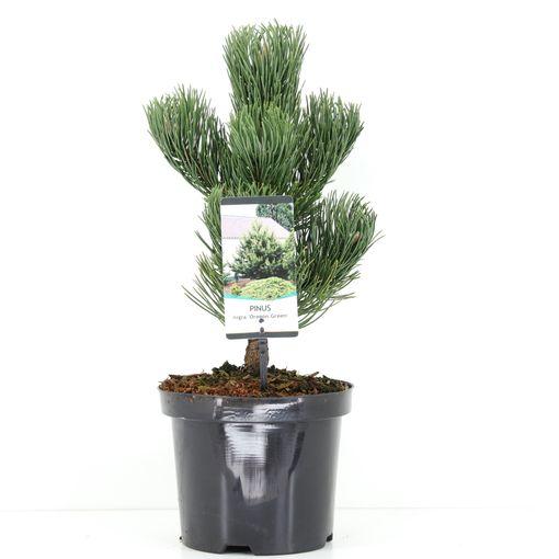 Pinus nigra 'Oregon Green' (Bremmer Boomkwekerijen)