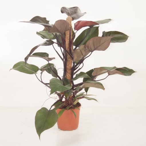 Philodendron 'Royal Queen' (Ammerlaan, The Green Innovater)