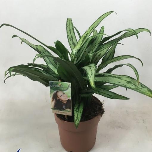 Aglaonema 'Cutlass' (Vireõ Plant Sales)