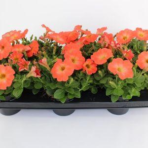 Petunia SALMON RAY (Sonneveld Plants)