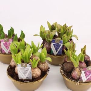 Hyacinthus orientalis MIX