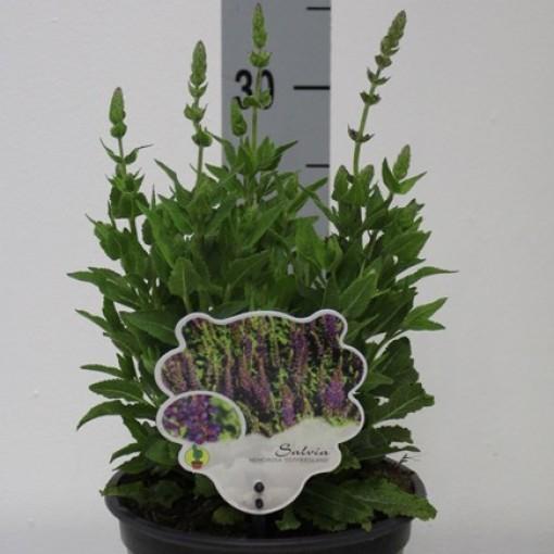Salvia nemorosa 'Ostfriesland' (Van Tol & Van der Linde)