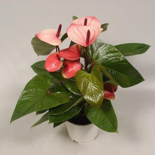 Anthurium 'Flamingo Pink' (Flamingo Plant)