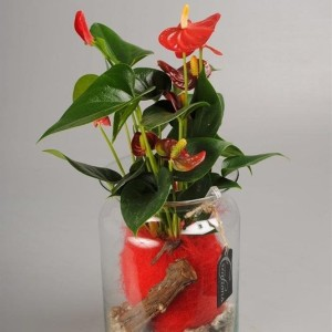 Arrangements Anthurium 'ANCR-1726'