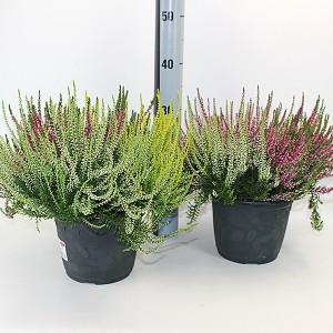 Calluna vulgaris GARDEN GIRLS MIX IN POT TRIO