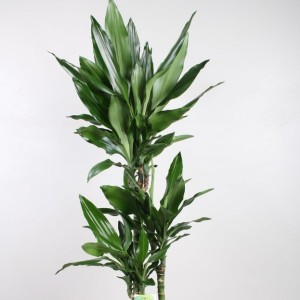 Dracaena fragrans 'Green Dream'