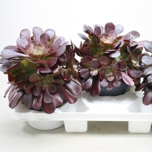 Aeonium arboreum 'Velours' (Ubink)